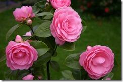 Roses-R